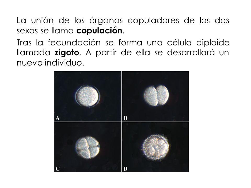 La unión de los órganos copuladores de los dos sexos se llama copulación. Tras la fecundación se forma una célula diploide llamada zigoto. A partir de