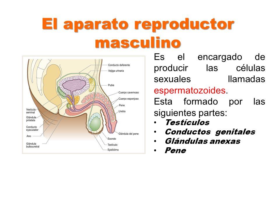 El aparato reproductor masculino Es el encargado de producir las células sexuales llamadas espermatozoides. Esta formado por las siguientes partes: Te