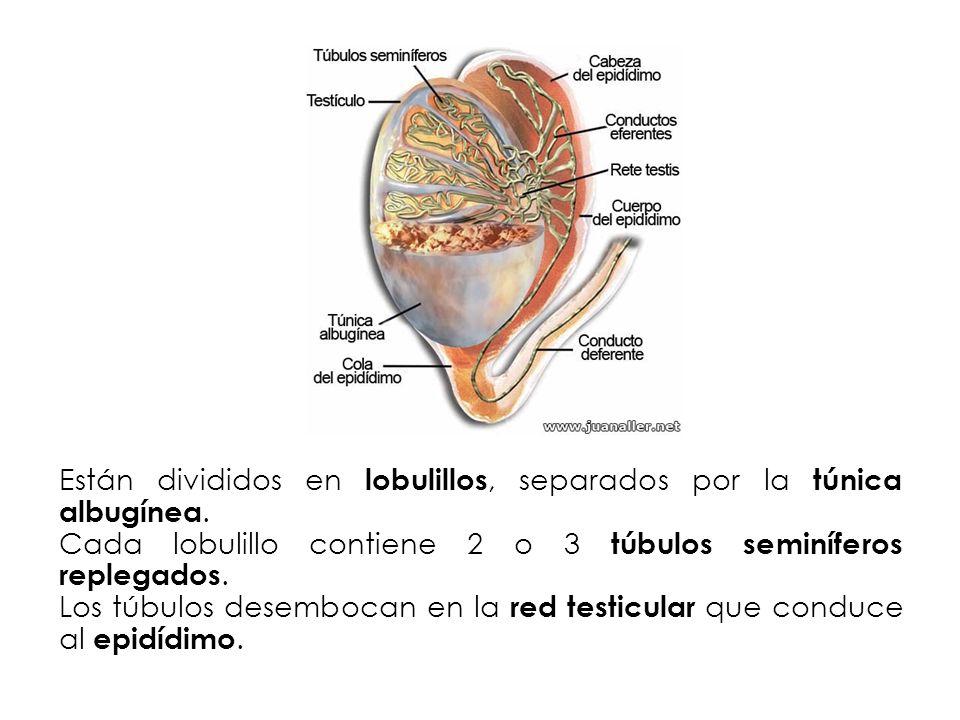 Están divididos en lobulillos, separados por la túnica albugínea. Cada lobulillo contiene 2 o 3 túbulos seminíferos replegados. Los túbulos desembocan