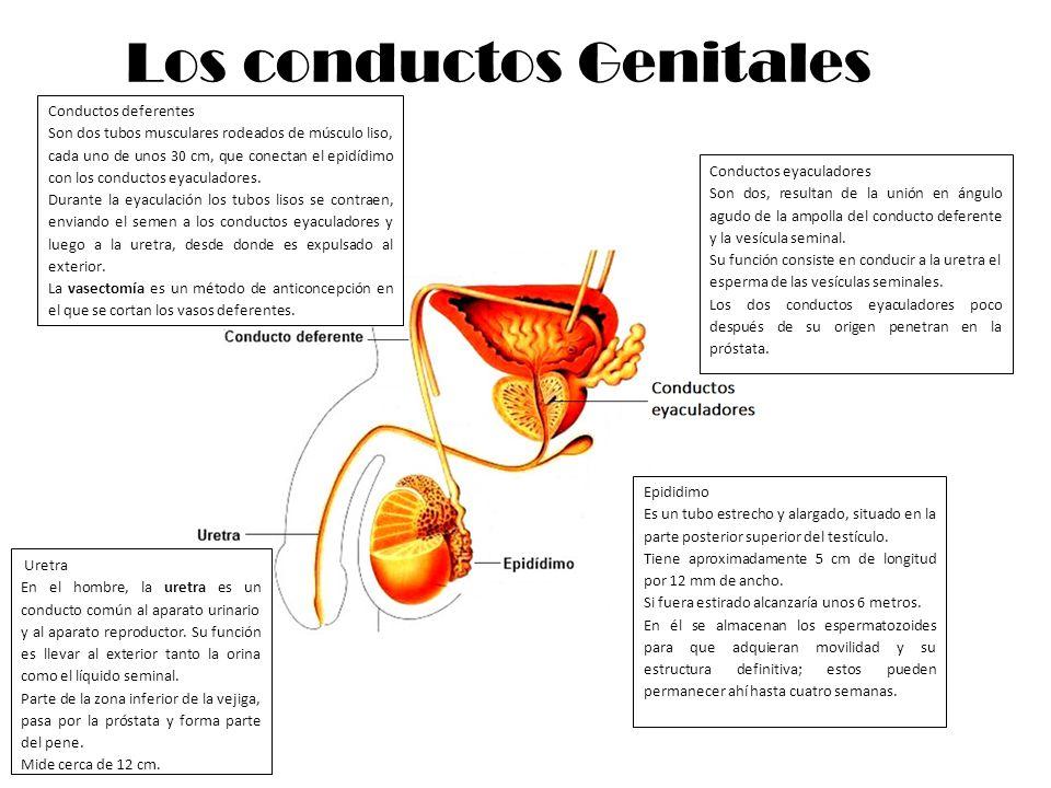 Los conductos Genitales Epididimo Es un tubo estrecho y alargado, situado en la parte posterior superior del testículo. Tiene aproximadamente 5 cm de
