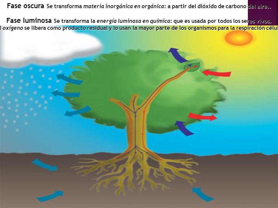 Fase oscura Se transforma materia inorgánica en orgánica: a partir del dióxido de carbono del aire.. Fase luminosa Se transforma la energía luminosa e
