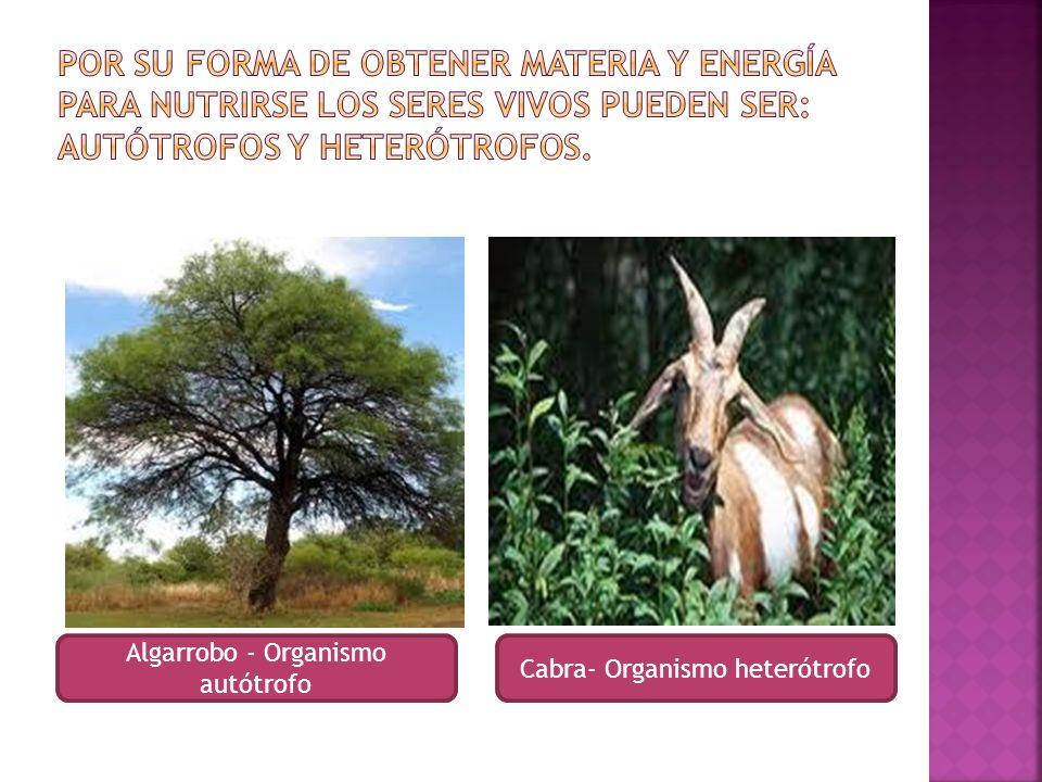 Algarrobo - Organismo autótrofo Cabra- Organismo heterótrofo