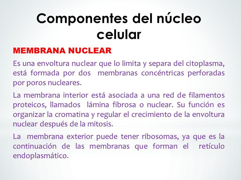 MEMBRANA NUCLEAR Es una envoltura nuclear que lo limita y separa del citoplasma, está formada por dos membranas concéntricas perforadas por poros nucleares.