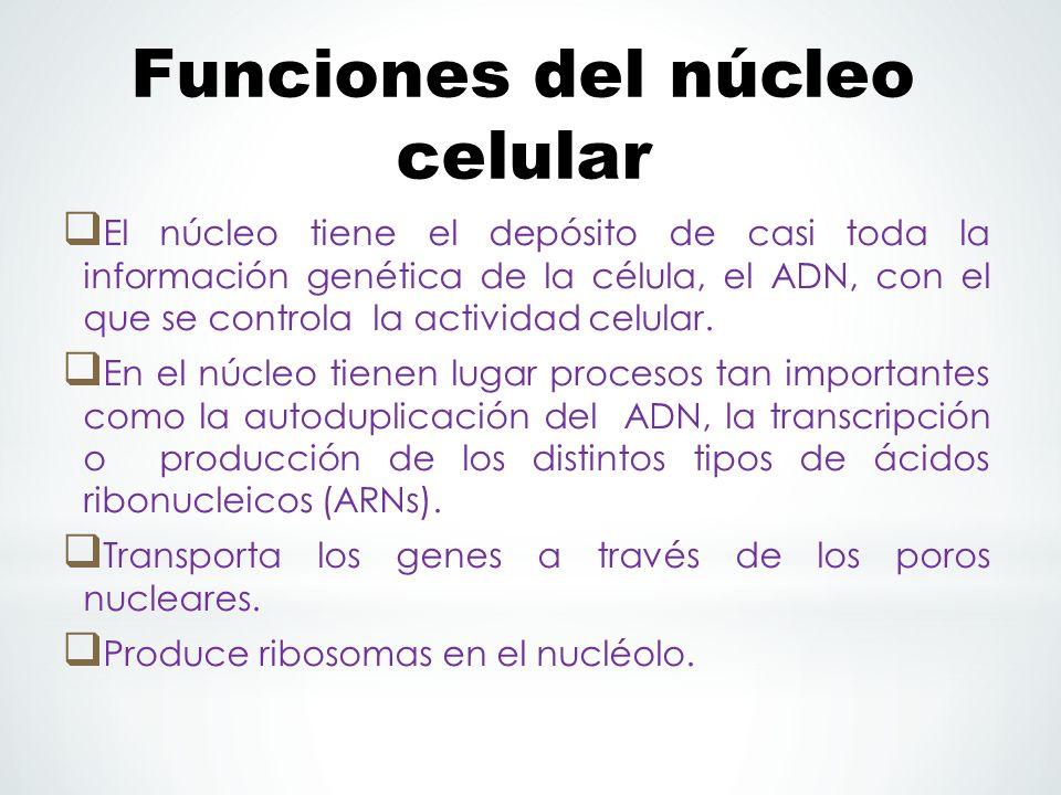 Funciones del núcleo celular El núcleo tiene el depósito de casi toda la información genética de la célula, el ADN, con el que se controla la actividad celular.