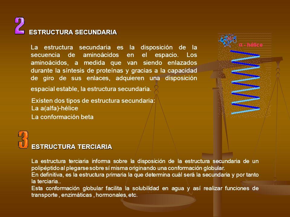 ESTRUCTURA SECUNDARIA La estructura secundaria es la disposición de la secuencia de aminoácidos en el espacio. Los aminoácidos, a medida que van siend