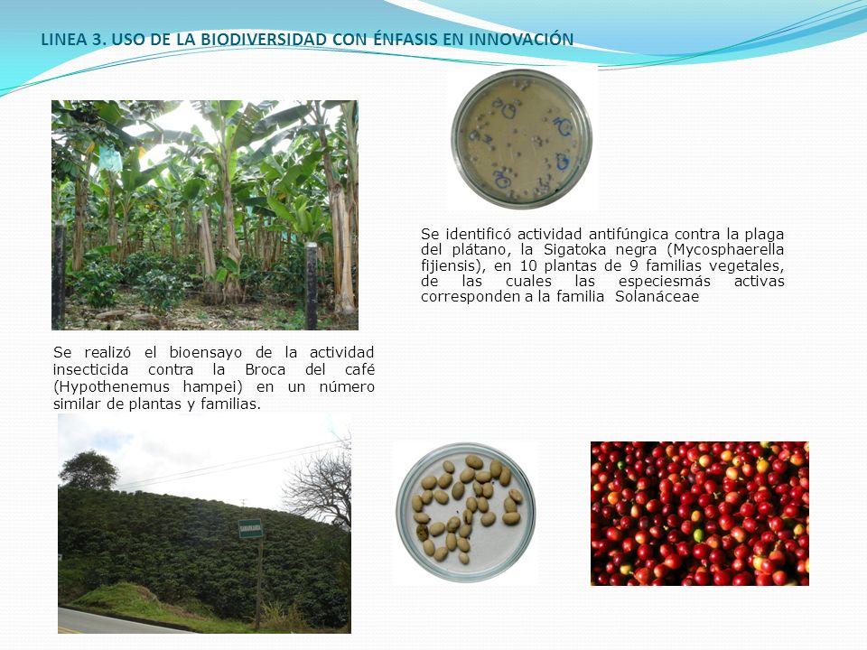 LINEA 3. USO DE LA BIODIVERSIDAD CON ÉNFASIS EN INNOVACIÓN Se identificó actividad antifúngica contra la plaga del plátano, la Sigatoka negra (Mycosph