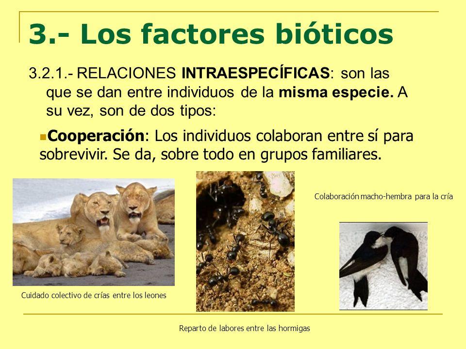 3.2.1.- RELACIONES INTRAESPECÍFICAS: son las que se dan entre individuos de la misma especie. A su vez, son de dos tipos: Cooperación: Los individuos