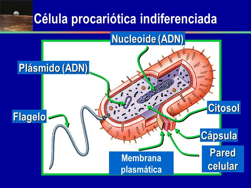 Célula procariótica indiferenciada Cápsula Pared celular Membrana plasmática Citosol Nucleoide (ADN) Flagelo Plásmido (ADN)