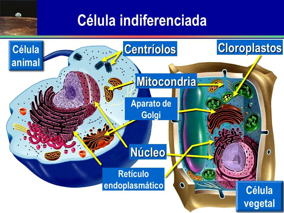 Célula indiferenciada Célula animal Célula vegetal Núcleo Aparato de Golgi Mitocondria Retículo endoplasmático Centríolos Cloroplastos
