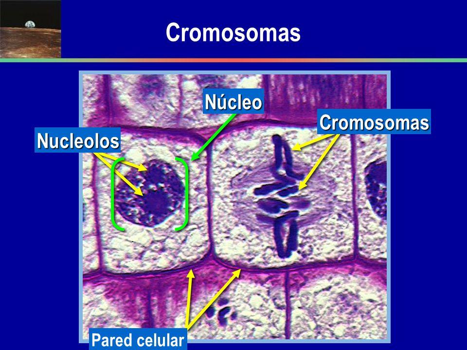 Cromosomas Nucleolos Núcleo Pared celular Cromosomas