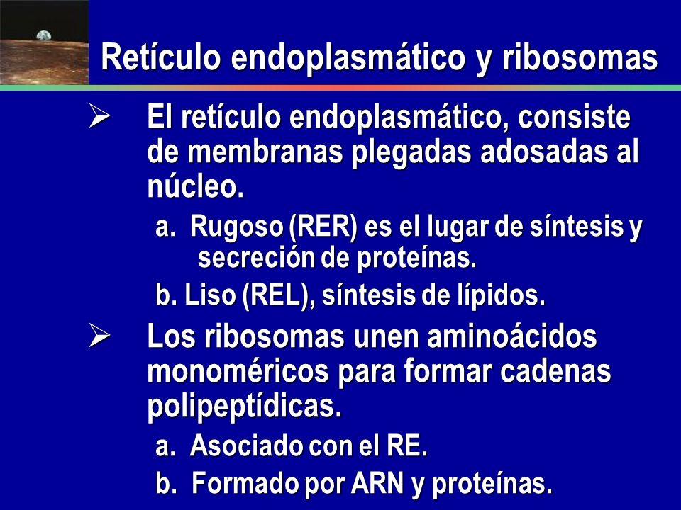 Retículo endoplasmático y ribosomas El retículo endoplasmático, consiste de membranas plegadas adosadas al núcleo. El retículo endoplasmático, consist