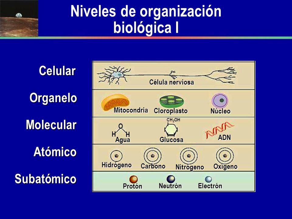 O H H CH 2 OH Niveles de organización biológica ISubatómico ElectrónNeutrón Protón Nitrógeno Carbono Hidrógeno Oxígeno ADN GlucosaAgua Núcleo Cloropla