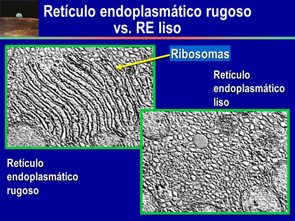 Retículo endoplasmático rugoso vs. RE liso Retículo endoplasmático rugoso Ribosomas Retículo endoplasmático liso