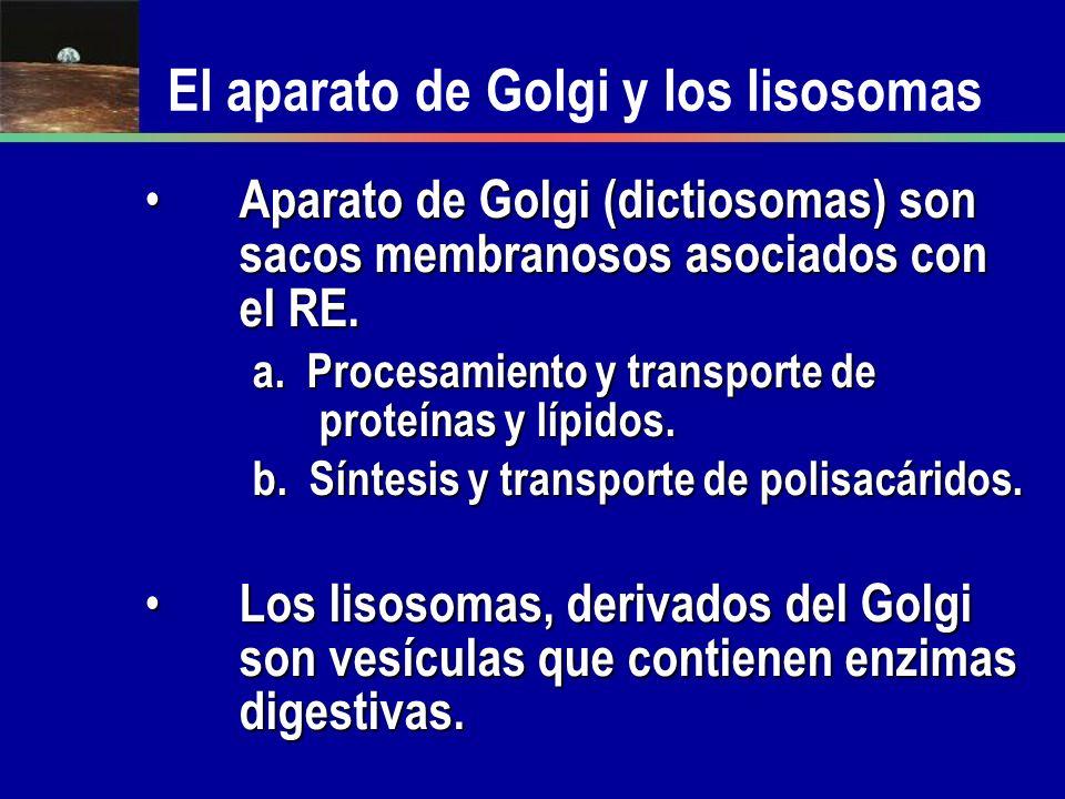 Aparato de Golgi (dictiosomas) son sacos membranosos asociados con el RE. Aparato de Golgi (dictiosomas) son sacos membranosos asociados con el RE. a.