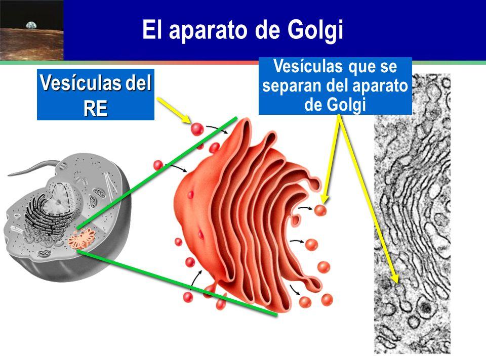 El aparato de Golgi Vesículas del RE Vesículas que se separan del aparato de Golgi