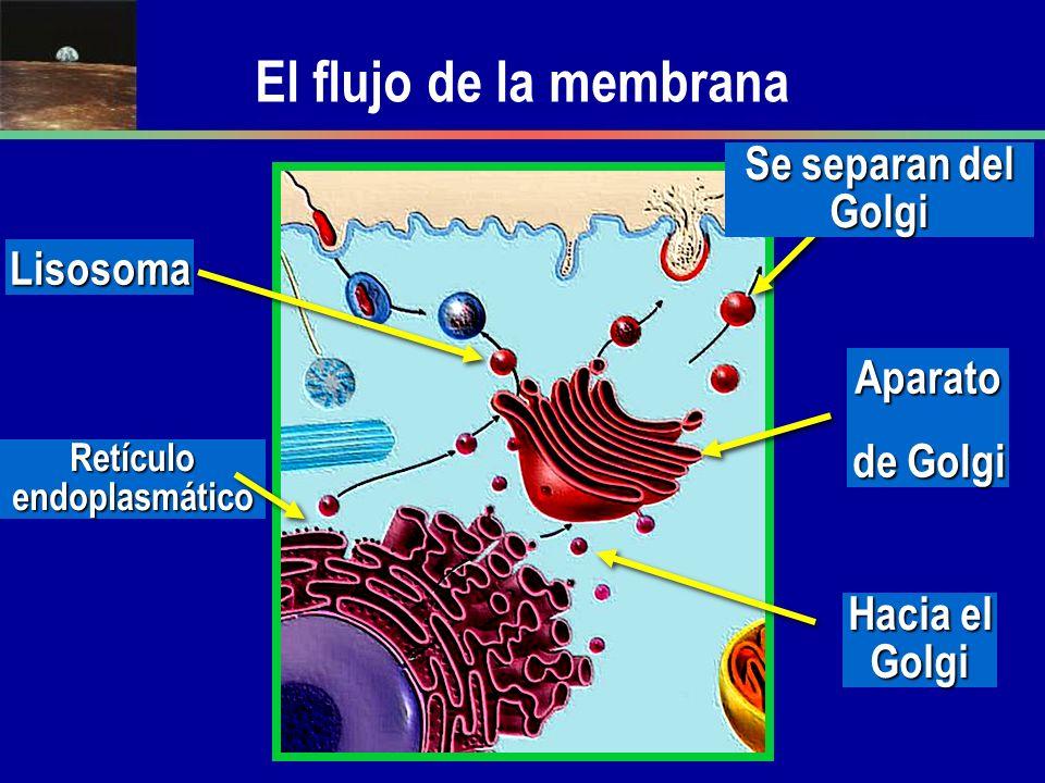 El flujo de la membrana Lisosoma Se separan del Golgi Aparato de Golgi Retículo endoplasmático Hacia el Golgi