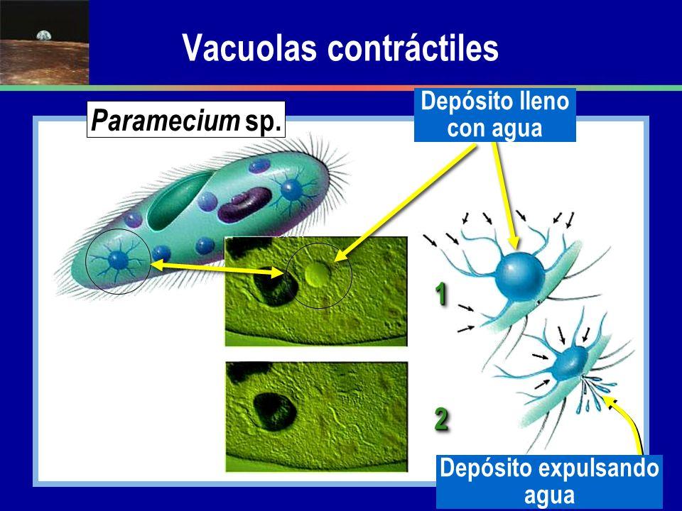 Vacuolas contráctiles 11 22 Paramecium sp. Depósito expulsando agua Depósito lleno con agua