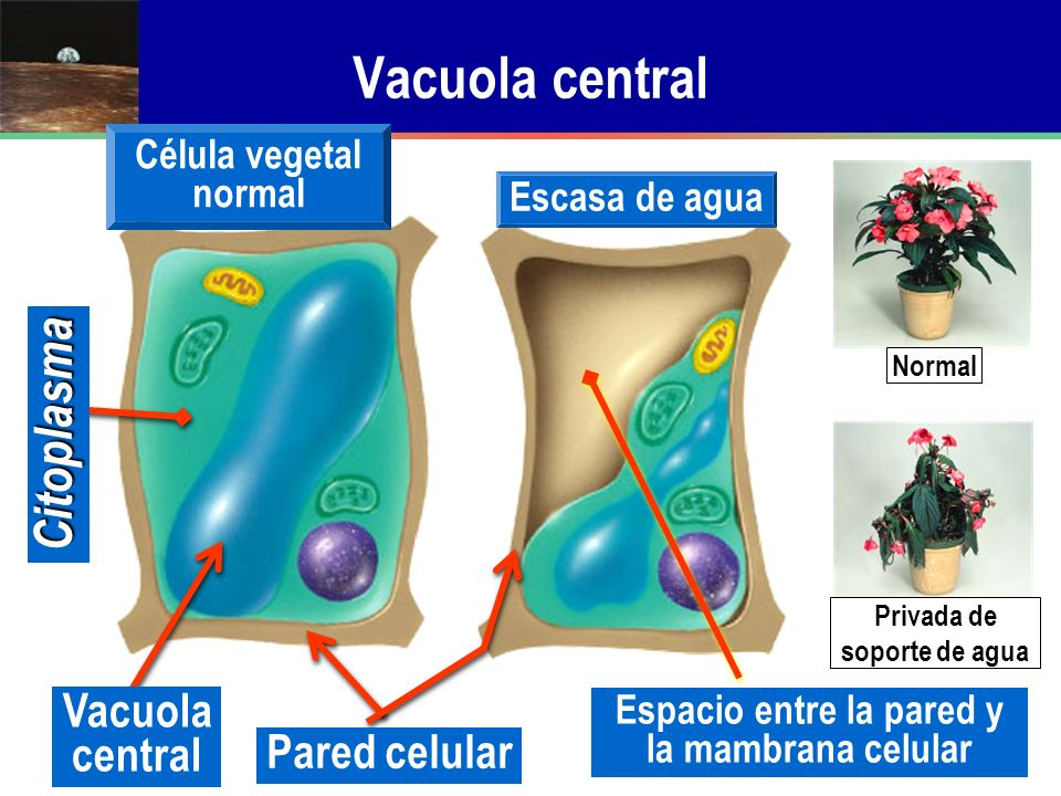 Vacuola central Pared celular Citoplasma Célula vegetal normal Escasa de agua Espacio entre la pared y la mambrana celular Normal Privada de soporte d