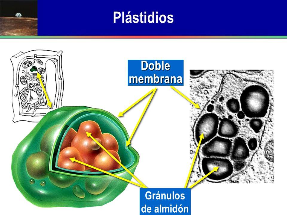 Doble membrana Gránulos de almidón