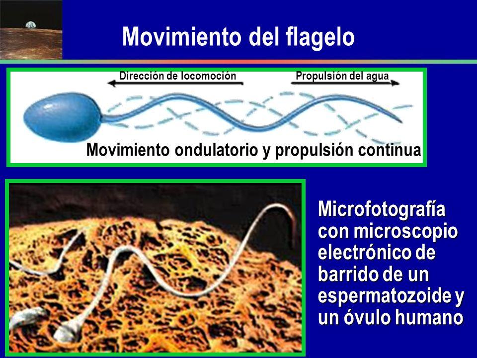 Movimiento del flagelo Movimiento ondulatorio y propulsión continua Dirección de locomociónPropulsión del agua Microfotografía con microscopio electró