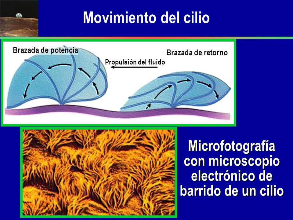 Movimiento del cilio Brazada de potencia Brazada de retorno Propulsión del fluido Microfotografía con microscopio electrónico de barrido de un cilio
