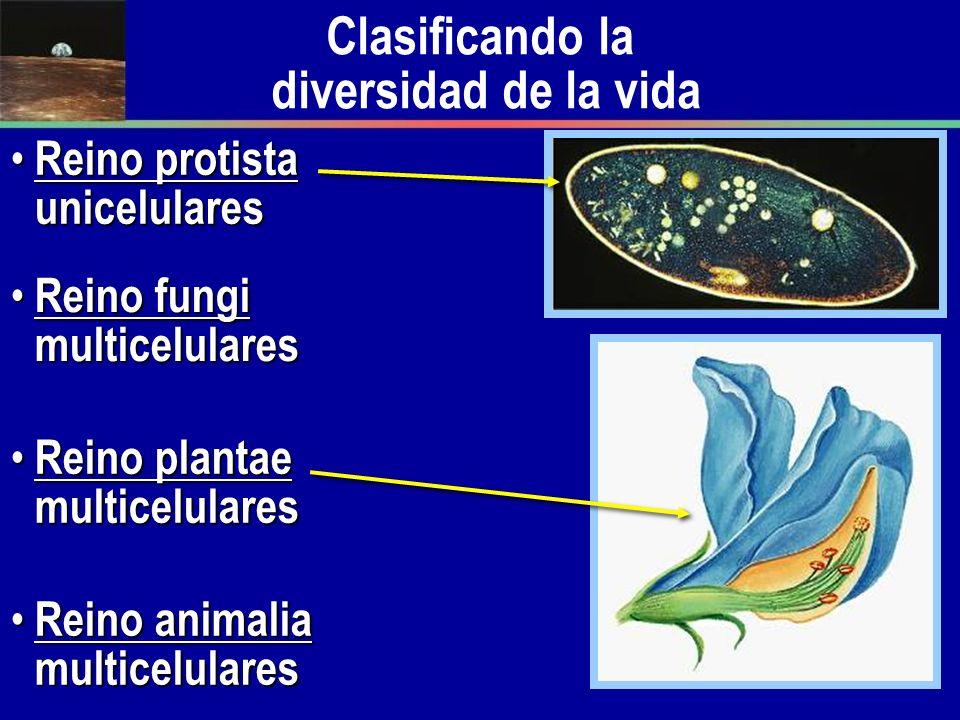 Clasificando la diversidad de la vida Reino Reino protista unicelulares fungi multicelulares plantae multicelulares animalia multicelulares