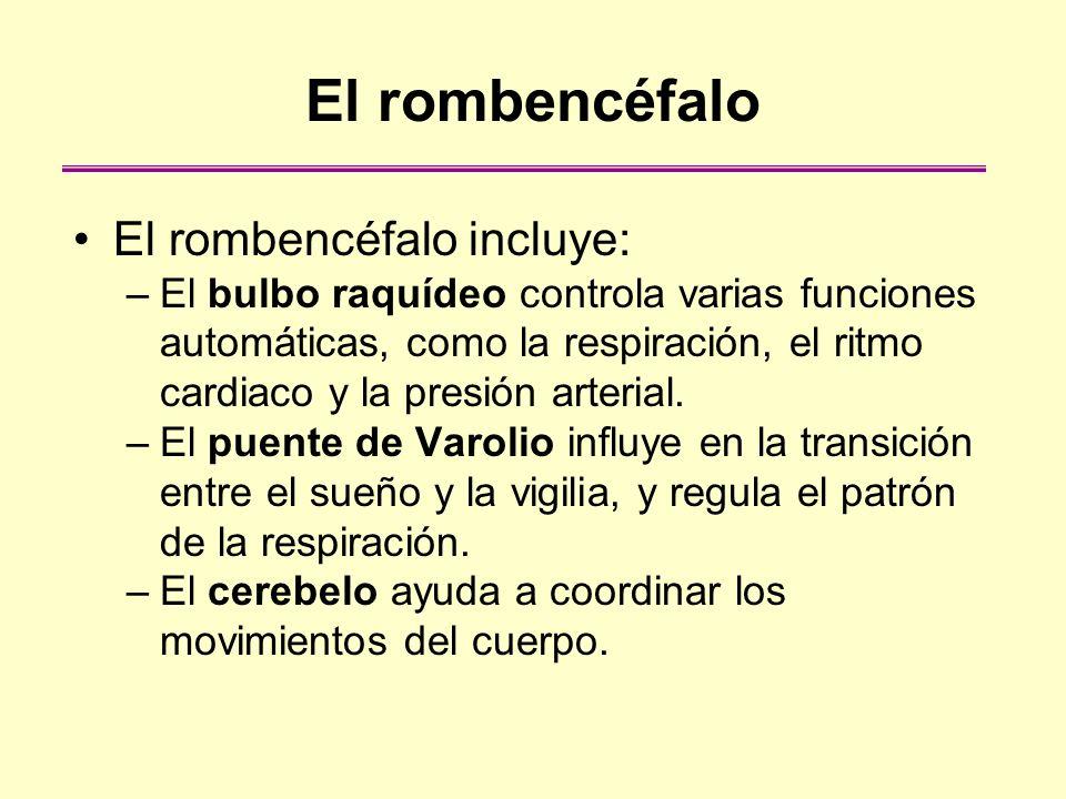 El rombencéfalo El rombencéfalo incluye: –El bulbo raquídeo controla varias funciones automáticas, como la respiración, el ritmo cardiaco y la presión