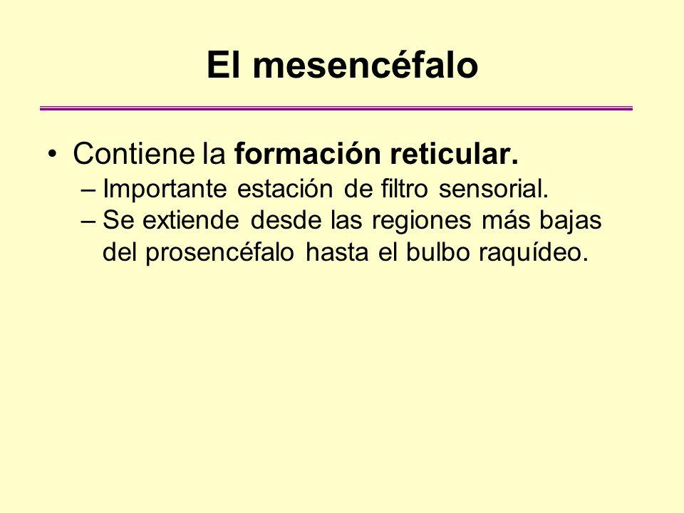 El mesencéfalo Contiene la formación reticular. –Importante estación de filtro sensorial. –Se extiende desde las regiones más bajas del prosencéfalo h