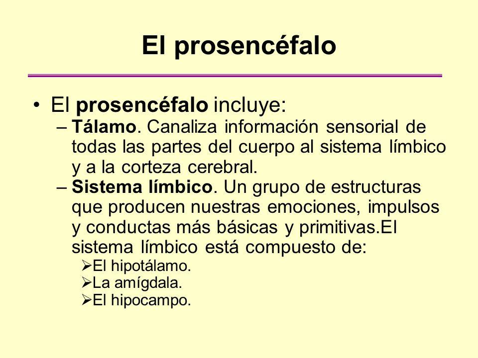 El prosencéfalo El prosencéfalo incluye: –Tálamo. Canaliza información sensorial de todas las partes del cuerpo al sistema límbico y a la corteza cere
