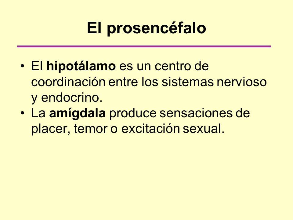 El prosencéfalo El hipotálamo es un centro de coordinación entre los sistemas nervioso y endocrino. La amígdala produce sensaciones de placer, temor o