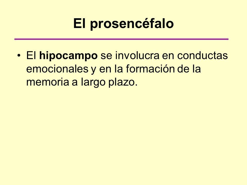 El prosencéfalo El hipocampo se involucra en conductas emocionales y en la formación de la memoria a largo plazo.