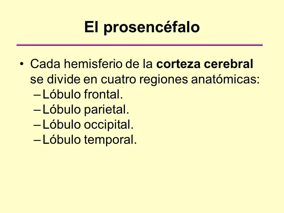 El prosencéfalo Cada hemisferio de la corteza cerebral se divide en cuatro regiones anatómicas: –Lóbulo frontal. –Lóbulo parietal. –Lóbulo occipital.