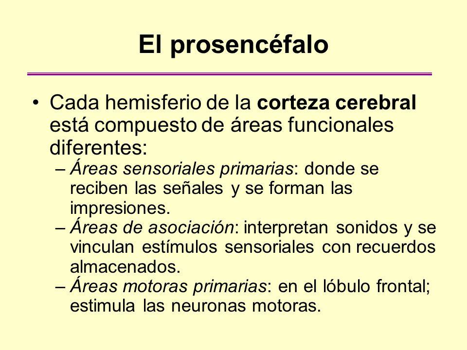 El prosencéfalo Cada hemisferio de la corteza cerebral está compuesto de áreas funcionales diferentes: –Áreas sensoriales primarias: donde se reciben