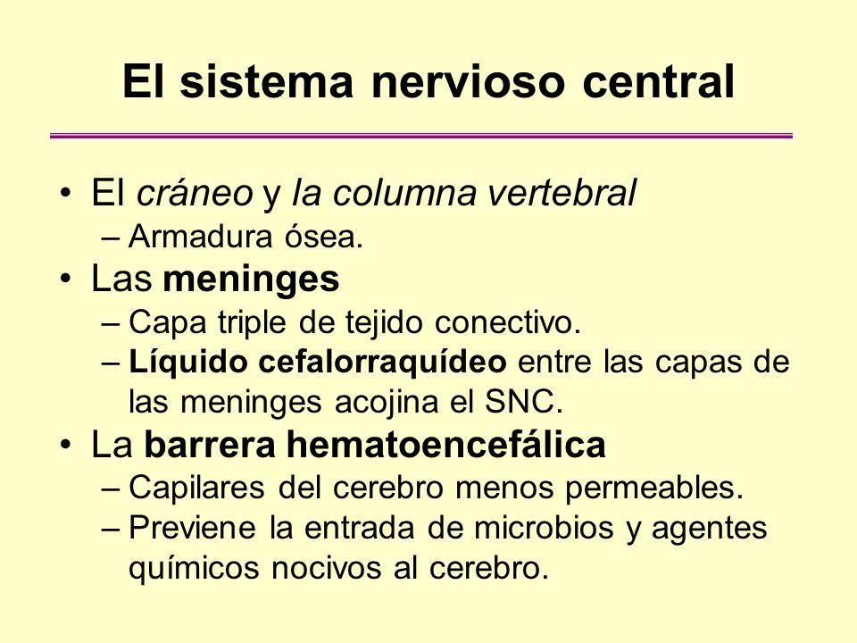 El rombencéfalo El rombencéfalo incluye: –El bulbo raquídeo controla varias funciones automáticas, como la respiración, el ritmo cardiaco y la presión arterial.