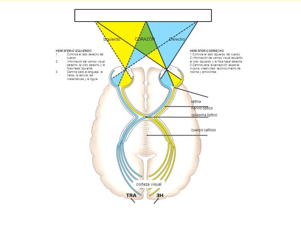 Izquierdo CORAZÓN Derecho HEMISFERIO IZQUIERDO 1.Controla el lado derecho del cuerpo 2.Información del campo visual derecho, el oído derecho y la fosa