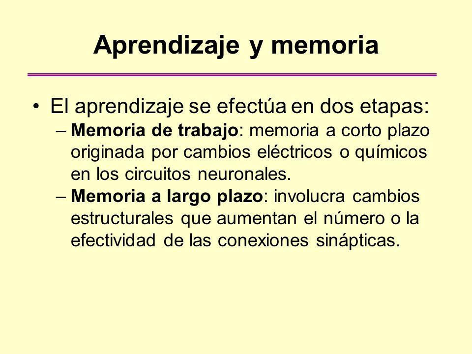 Aprendizaje y memoria El aprendizaje se efectúa en dos etapas: –Memoria de trabajo: memoria a corto plazo originada por cambios eléctricos o químicos