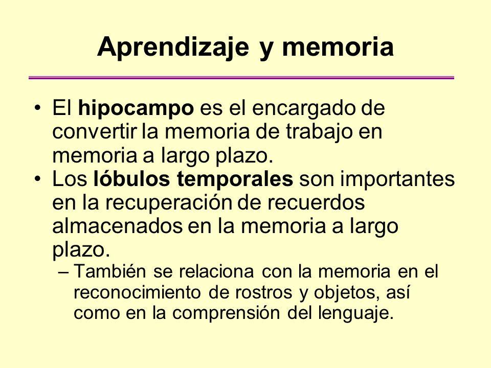 Aprendizaje y memoria El hipocampo es el encargado de convertir la memoria de trabajo en memoria a largo plazo. Los lóbulos temporales son importantes