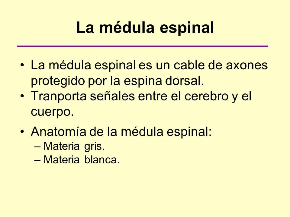 La médula espinal La médula espinal es un cable de axones protegido por la espina dorsal. Tranporta señales entre el cerebro y el cuerpo. Anatomía de