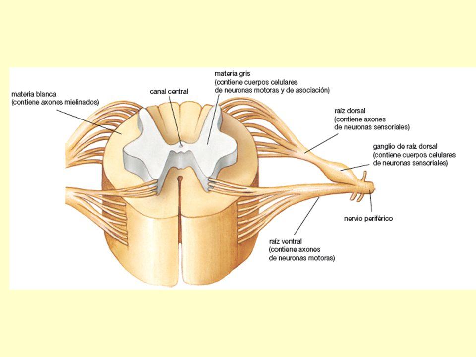 La médula espinal También contiene los caminos neurales de ciertos comportamientos simples, como los reflejos.