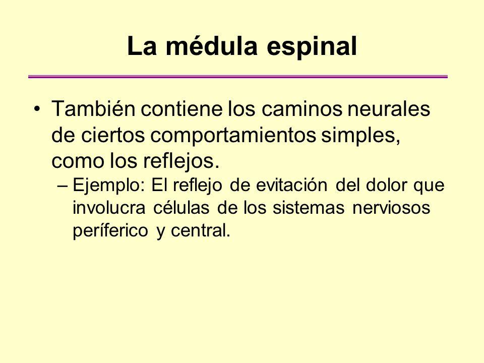 La médula espinal También contiene los caminos neurales de ciertos comportamientos simples, como los reflejos. –Ejemplo: El reflejo de evitación del d