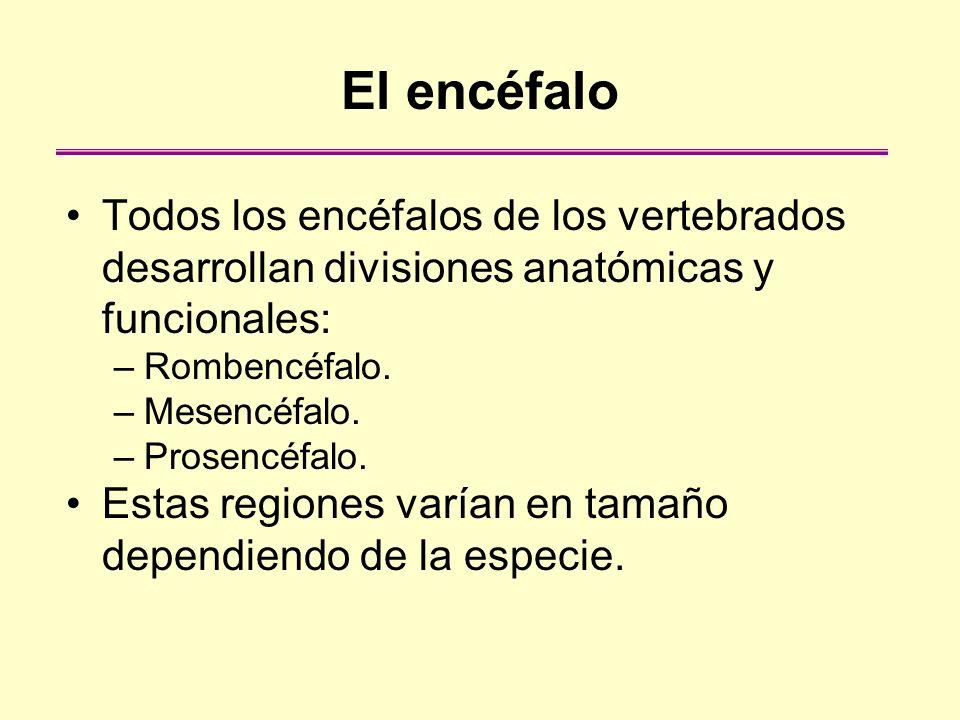 El encéfalo Todos los encéfalos de los vertebrados desarrollan divisiones anatómicas y funcionales: –Rombencéfalo. –Mesencéfalo. –Prosencéfalo. Estas