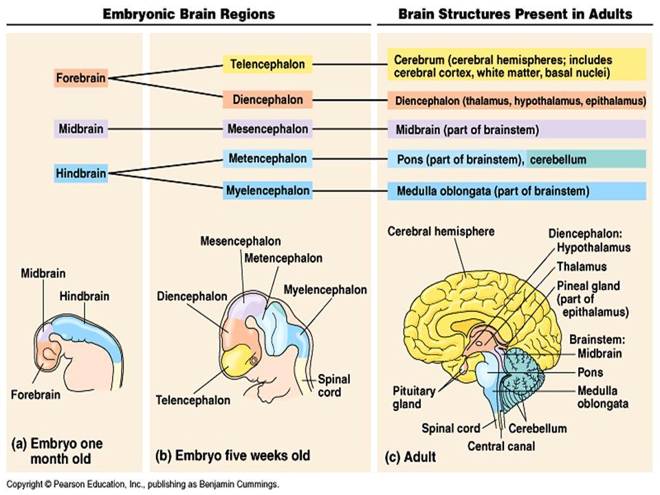 El hemisferio izquierdo y el hemisferio derecho Los axones dentro de cada tracto óptico se cruzan al ir hacia el cerebro.