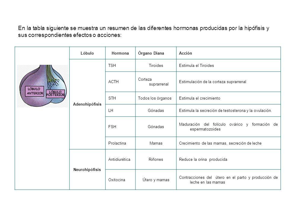 En la tabla siguiente se muestra un resumen de las diferentes hormonas producidas por la hipófisis y sus correspondientes efectos o acciones: LóbuloHormonaÓrgano DianaAcción Adenohipófisis TSHTiroidesEstimula el Tiroides ACTH Corteza suprarrenal Estimulación de la corteza suprarrenal STHTodos los órganosEstimula el crecimiento LHGónadasEstimula la secreción de testosterona y la ovulación.