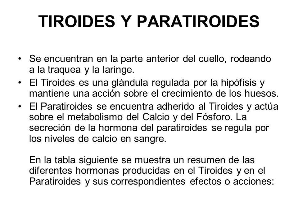 TIROIDES Y PARATIROIDES Se encuentran en la parte anterior del cuello, rodeando a la traquea y la laringe.