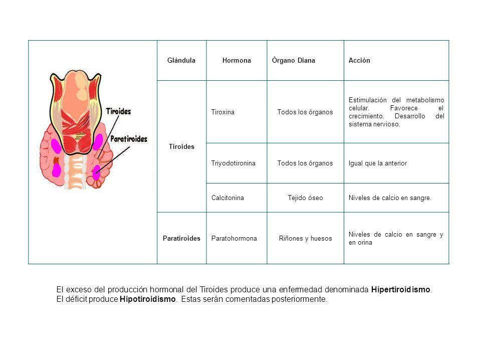 GlándulaHormonaÓrgano DianaAcción Tiroides TiroxinaTodos los órganos Estimulación del metabolismo celular.