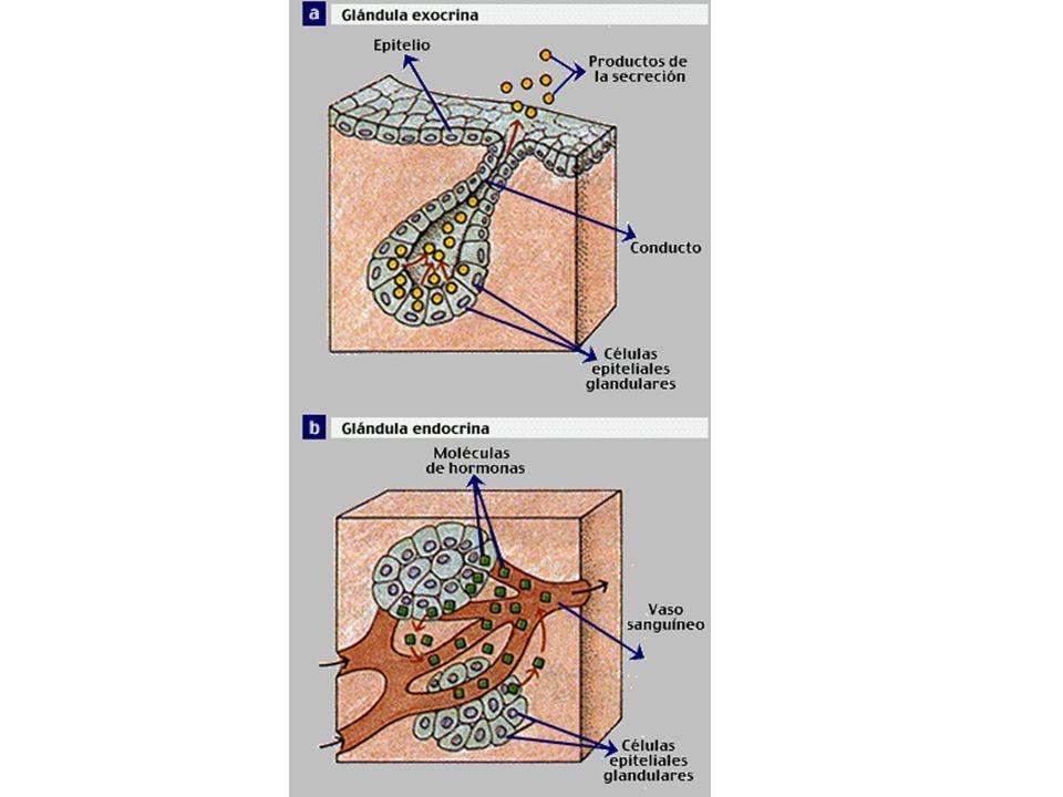 EQUILIBRIO HORMONAL Las hormonas son compuestos químicos que ejercen su acción en pequeñas cantidades.