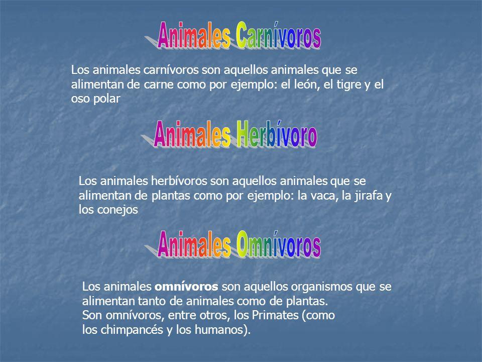 Los animales omnívoros son aquellos organismos que se alimentan tanto de animales como de plantas. Son omnívoros, entre otros, los Primates (como los