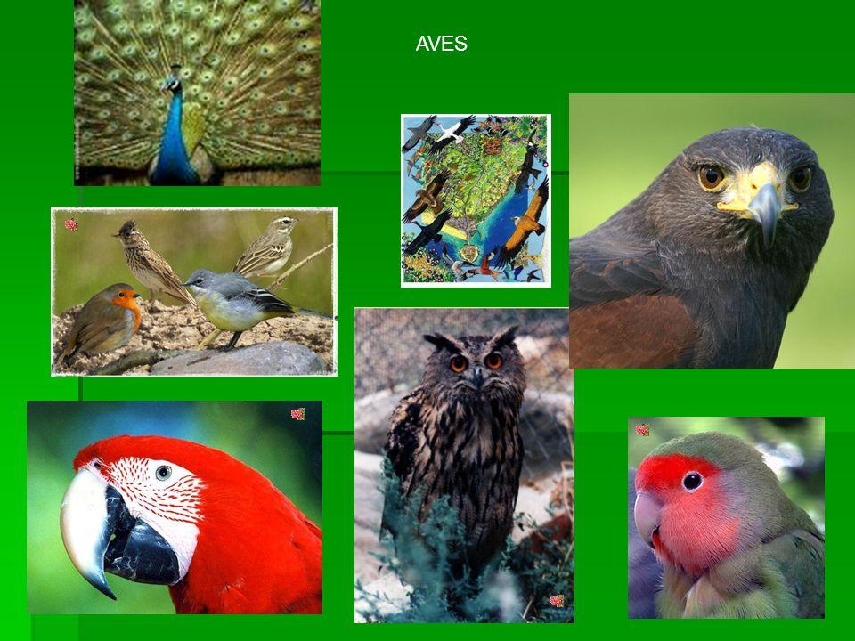 SISTEMA RESPIRATORI O AVES Del mismo modo que los mamíferos, las aves tienen: 1.