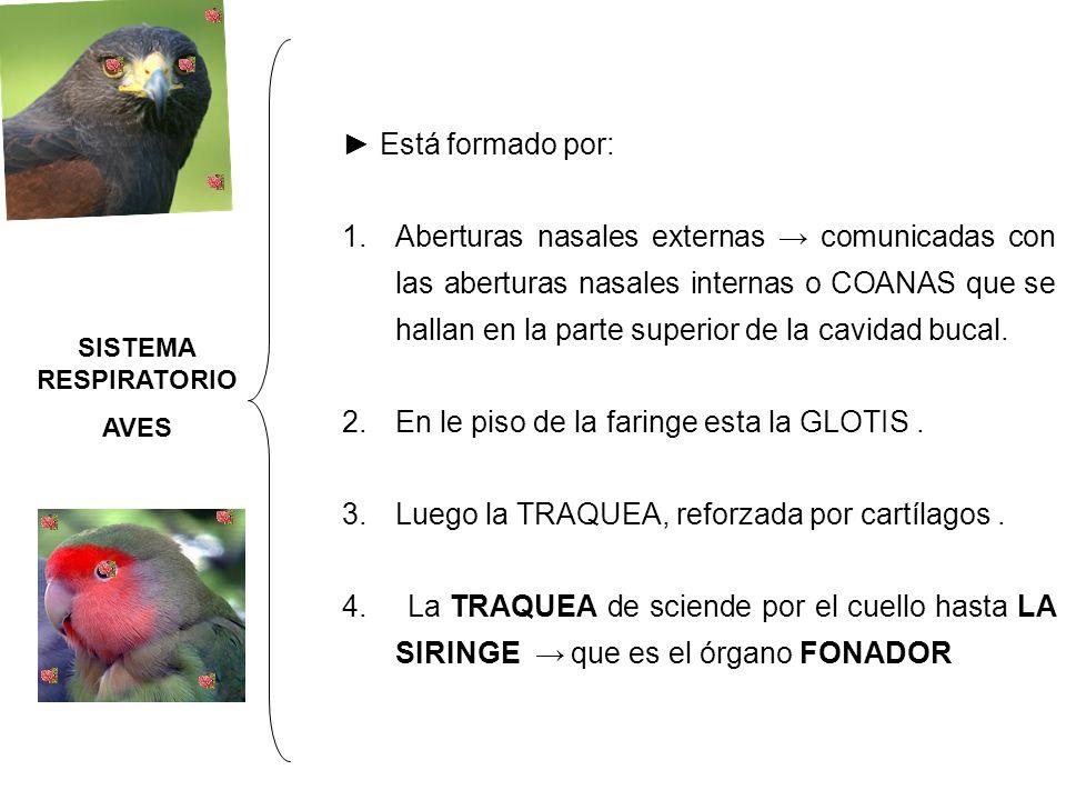 Por lo tanto los huesos largos e las aves en lugar de medula tiene aire Las aves pueden tener de seis (gorrión común) a 12 ( aves limícolas) Los sacos aéreos anteriores SISTEMA RESPIRATORI O AVES SISTEMA RESPIRATORI O AVES Saco ínter clavicular (1) Sacos cervicales (2 ) Sacos torácicos anteriores (2) Sacos torácicos posteriores: 2 Sacos abdominales : 2 Los sacos aéreos posteriores