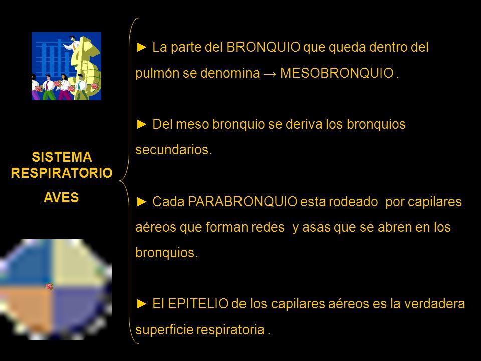 La parte del BRONQUIO que queda dentro del pulmón se denomina MESOBRONQUIO. Del meso bronquio se deriva los bronquios secundarios. Cada PARABRONQUIO e